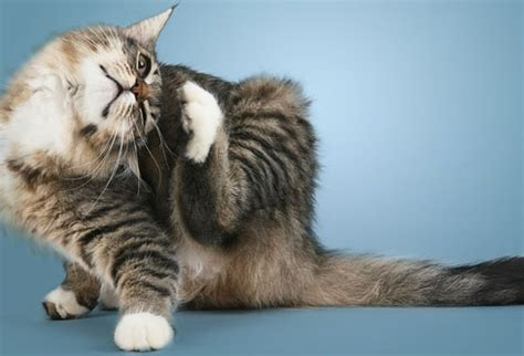 cat health dry skin picture 9