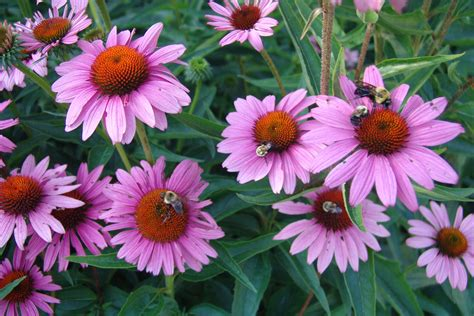 common + cold + echinacea picture 2