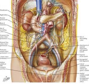 anterior bladder peritoneum picture 5