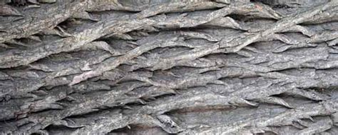 white willow bark for raches picture 19