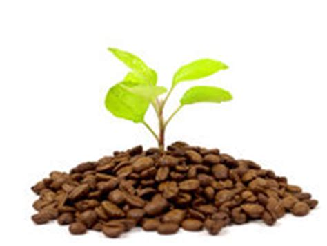 green coffee beans for raising glutathione picture 5
