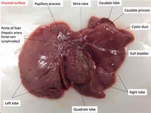 canine cirrhosis of the liver picture 9