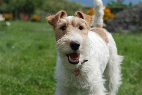 wire hair terrier rescue picture 10