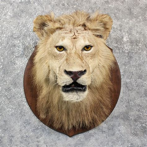 african lion tooth taxidermy picture 5
