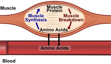 amino acid used to muscle workout picture 3
