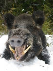 wild boar aging picture 10