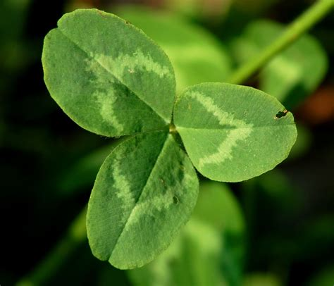 clover picture 12