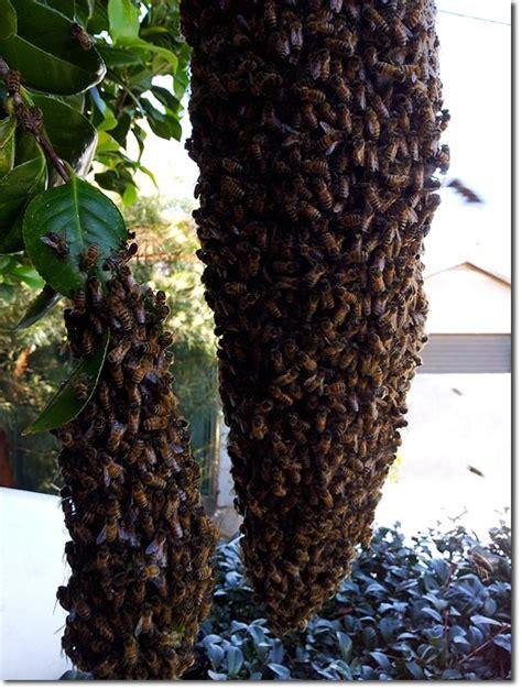 Deviding honey bee hives picture 7