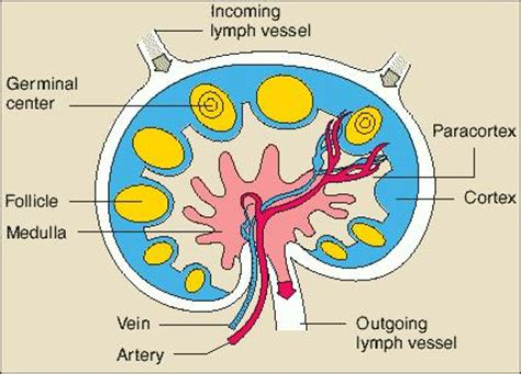 bladder infection cause swollen lymph nodes picture 4