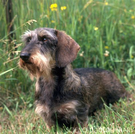 wired hair dachsund picture 10