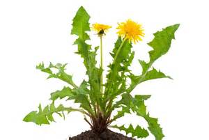 cancer & dandelion root picture 5