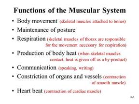 functions of muscle system picture 1