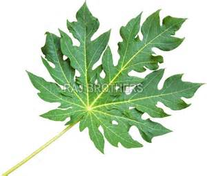 Papaya Leaf picture 6
