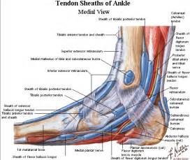 ankylet muscle picture 10