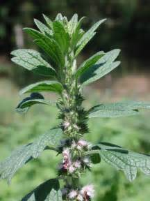 motherwort for men picture 1