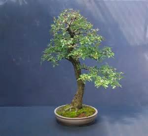 bonsai hawthorn picture 6