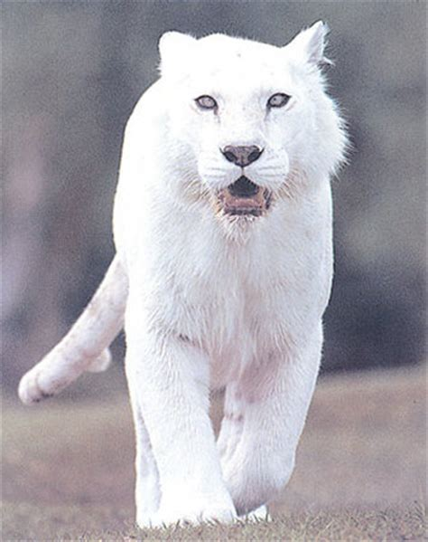 white panther pills picture 10