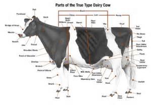 bovine h picture 14