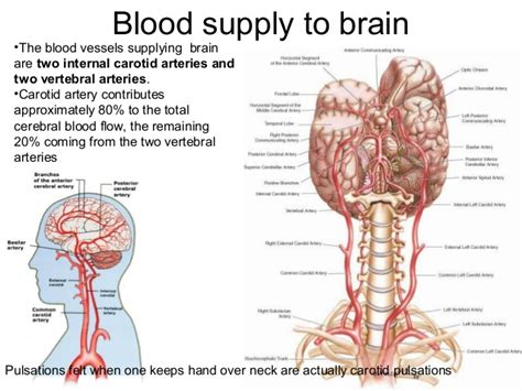 blood flow to the brain picture 6