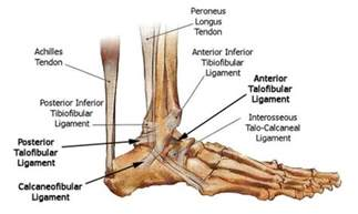 ankle joint diagram picture 3