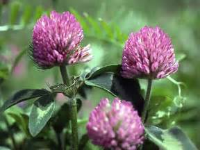 Red clover herbal picture 1