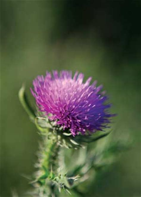 milk thistle for liver damage picture 1
