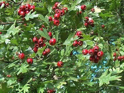 does hawthorn berry work picture 19