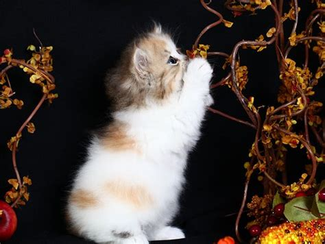 smoke persian breeders picture 7