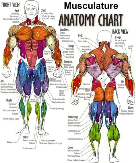 diagram of body muscle picture 14