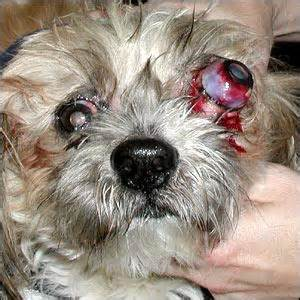 skin problems with pekingese picture 9