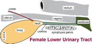 anatomy and physiology of urinary bladder picture 9