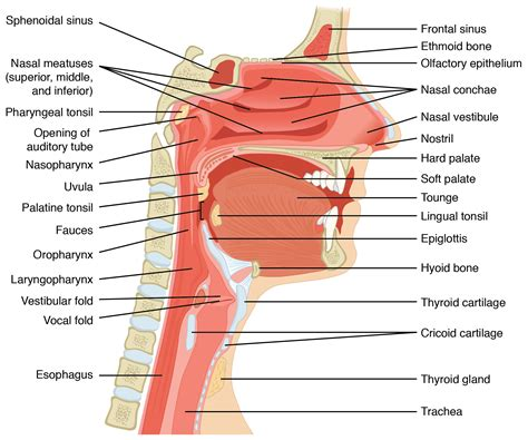 esophogus and thyroid picture 7