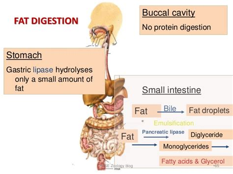digestion of fat by lipase picture 5