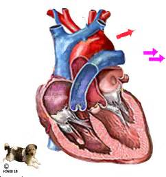 animation of the heart blood flow picture 15