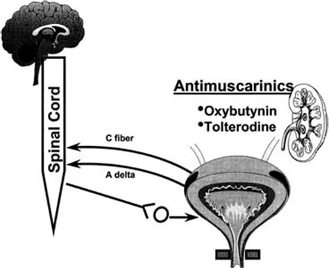 anticholinergic for overactive bladder picture 11