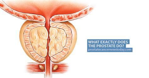 What does the prostate do picture 3