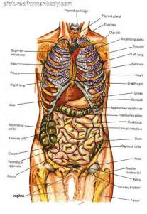 anatomical location of the liver picture 14