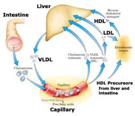 Cholesterol and the liver picture 6