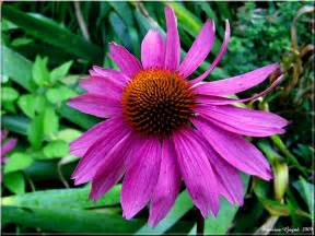 echinacea dosage picture 2