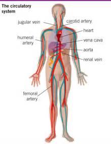 diagrams of skeletal muscle fiber picture 9