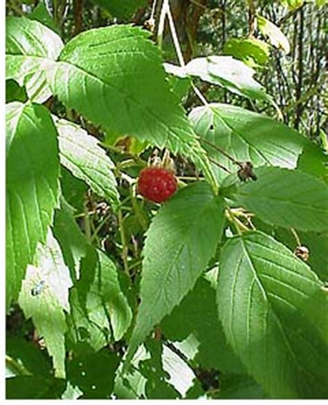 wild red raspberries picture 19