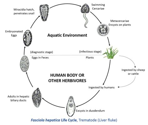 goat liver fluke life cycle picture 3
