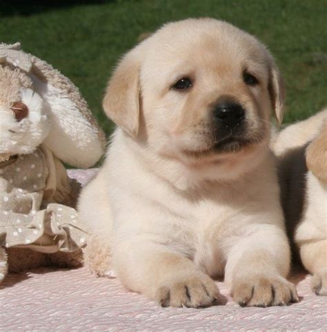 how to tell age of labrador h picture 2