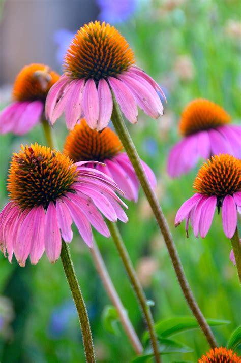 common + cold + echinacea picture 17