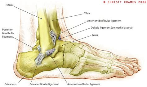 ankle joint diagram picture 11
