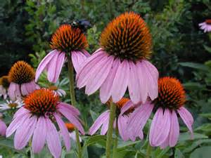 echinacea facts picture 6