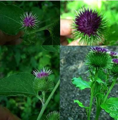 burdock for herpes picture 6