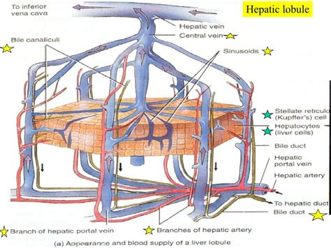 complete functions of the liver picture 6