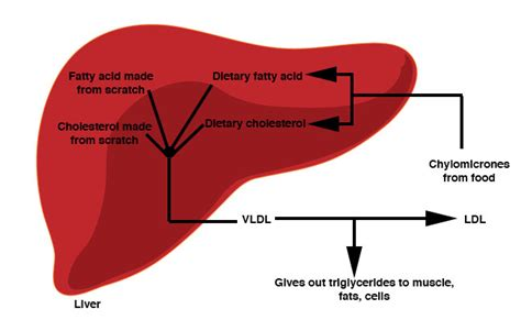 liver active picture 2