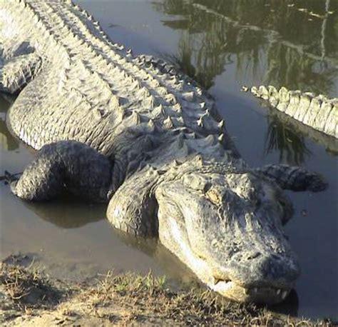 number of h alligators have picture 10